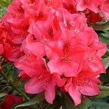 Rhododendron 'Nova Zembla' - Find Azleas,Camellias,Hydrangea and Rhododendrons at Loder Plants